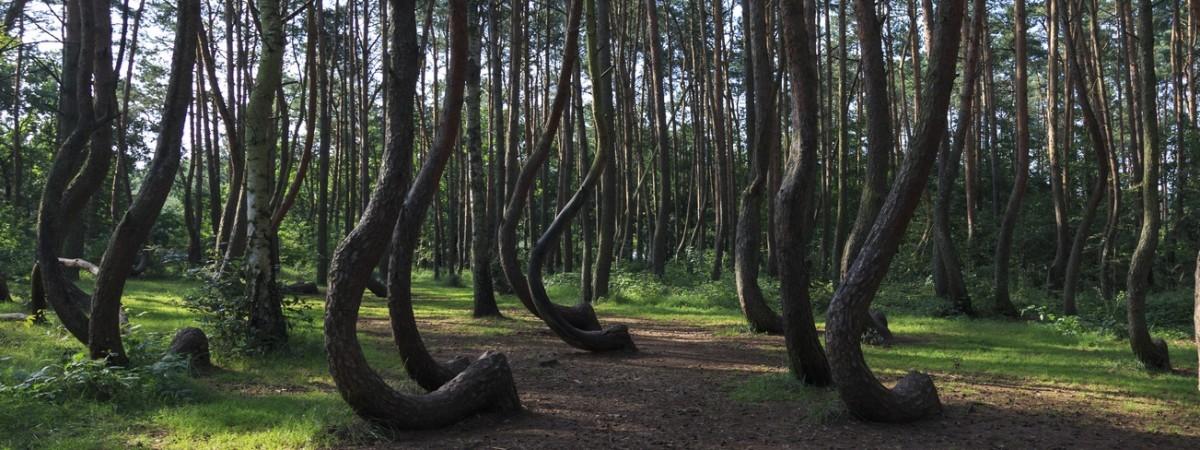 Кривий ліс в Польщі: хто і навіщо його створив?