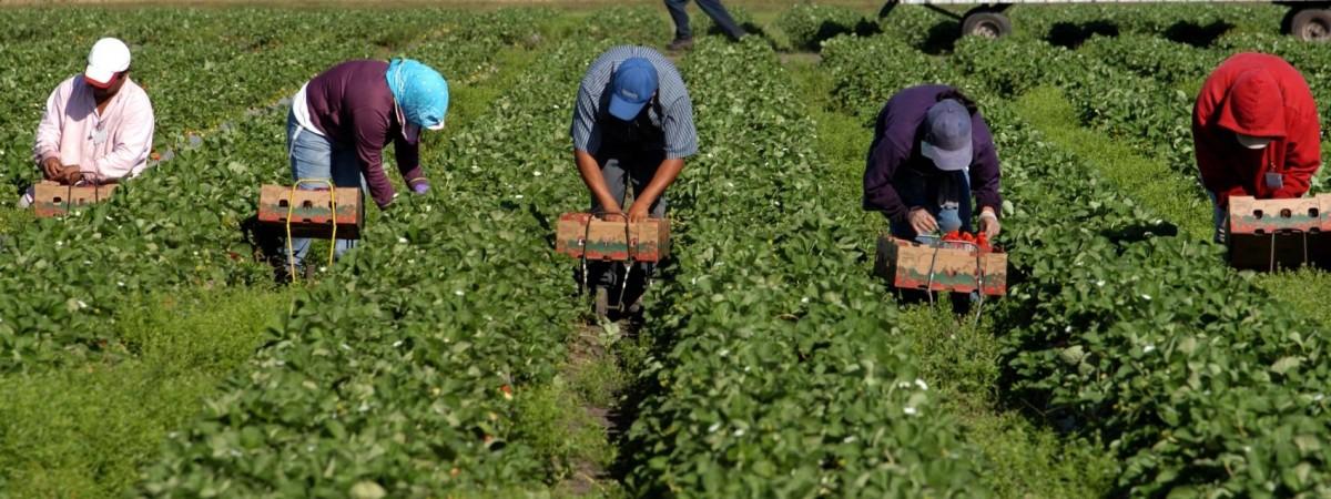 На роботу до Польщі не приїде майже 500 тис українців? Фермери не знають, хто збиратиме полуницю